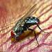 Fly on Stapelia gettliffei flower