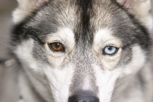 husky eyes | by Eyesplash - Explore is so 2009...for me at least..
