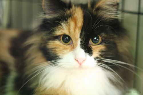 Maine Coon Kitten Img 7222 Jpg Nancy Ho Flickr