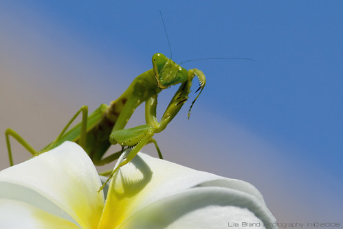 c'mon, get me if you can…♫ a praying mantis from bali ♫ | by bocavermelha-l.b.