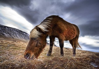An Icelandic Horse in the Wild | by Stuck in Customs