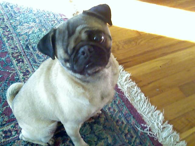 The World S Smallest Pug Red Rua Flickr