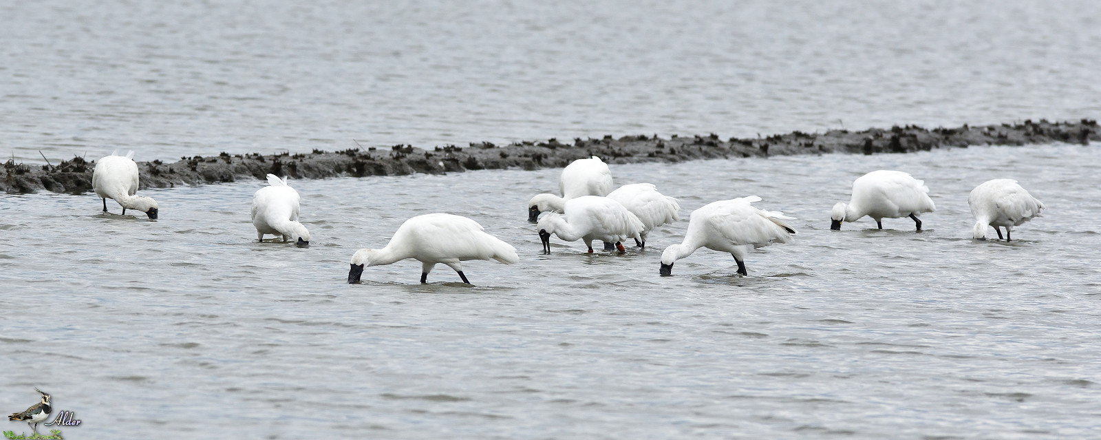 Black-faced_Spoonbill_5076