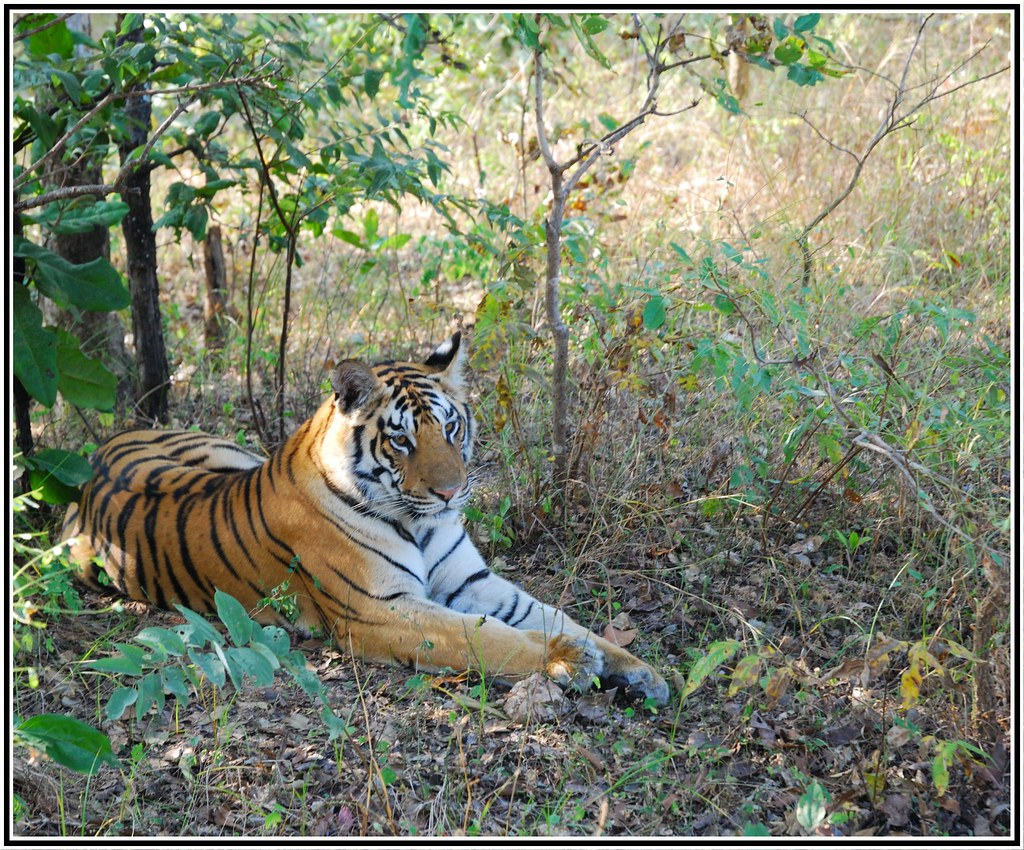 sharekhan from jungle book, pench. | tiger tiger burning bri… | flickr