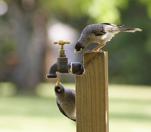 Thirsty birds at St Ives village green. | by dicktay2000