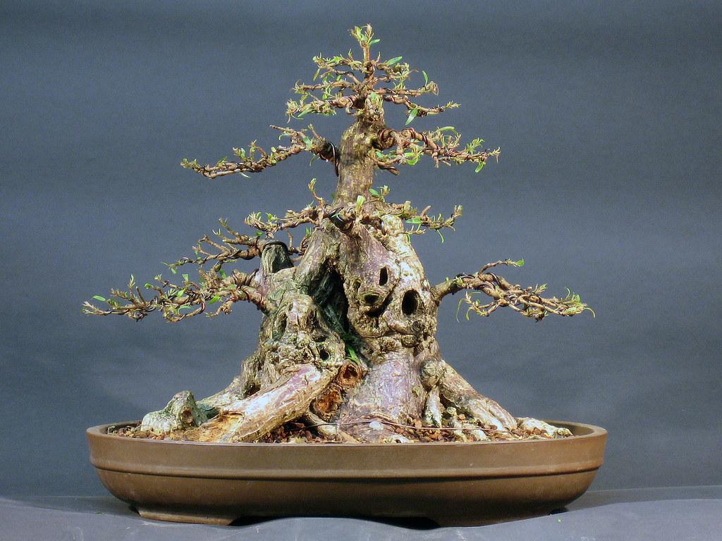 Sumo Ficus Bonsai