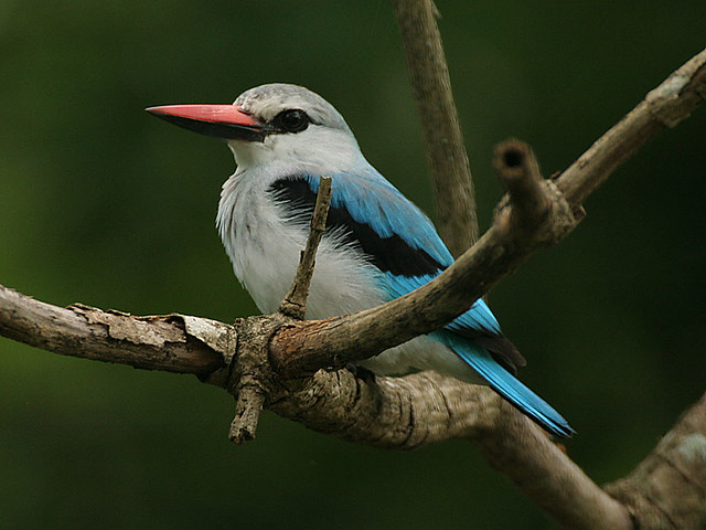 Selection of Feeding Areas by Senegal Kingfishers Halcyon ...