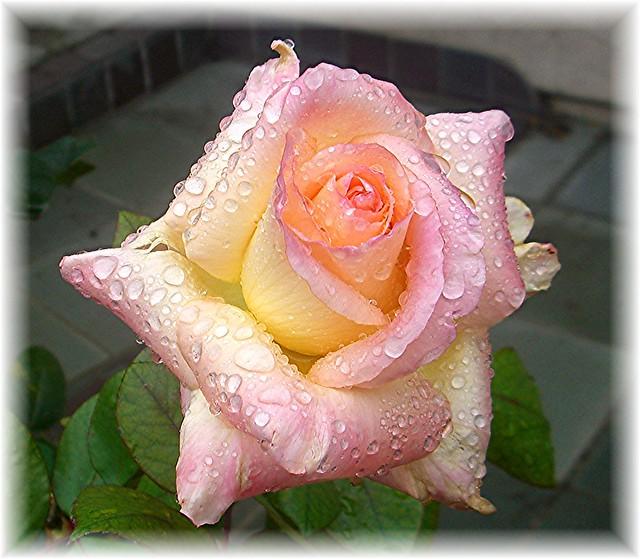 Princess Diana Rose With Raindrops Flickr Photo Sharing