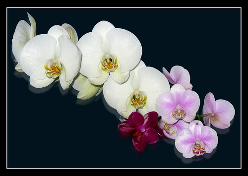 Orchid Collection | by Sir Frog
