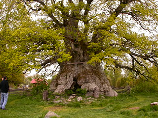 The largest oak in Småland, allegedly | by Tim Waters