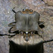 Large click beetle (Sinuaria aenescens) from Borneo
