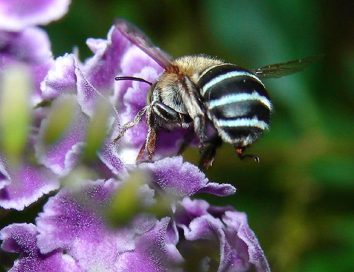 Australian Blue Banded Bee-Best viewed large | by aussiegall