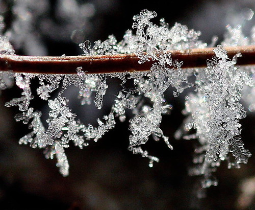 Frost on a pine needle | by Lida Rose