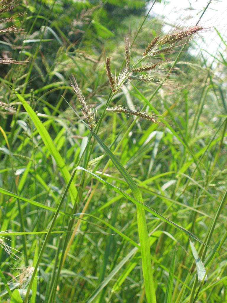 Barnyard Grass Echinochloa Crusgalli Var Crusgalli