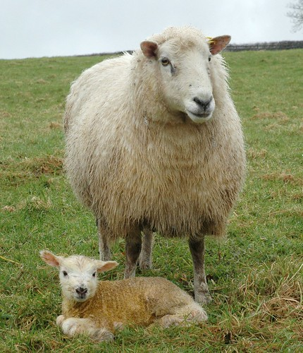 Mother ewe standing over newborn lamb | by Jim Kirkpatrick