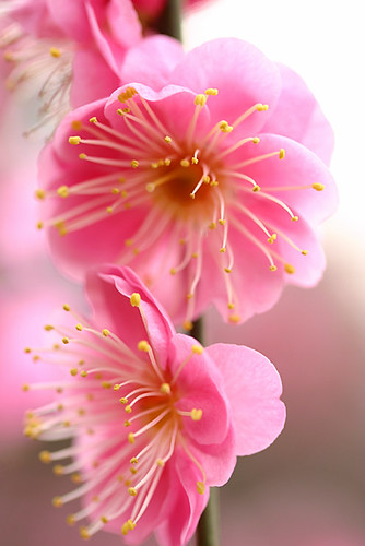 pink plum blossom | by * Yumi *