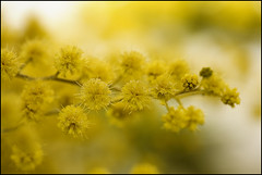 Cootamundra Wattle | by laheringer