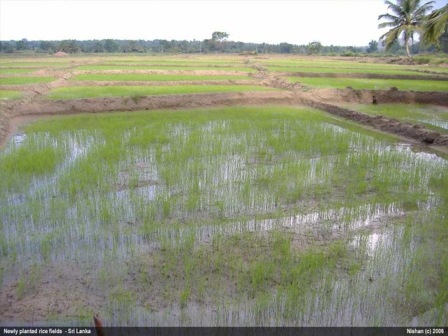 Paddy Fields in Sri Lanka | Paddy fields More photos and ...