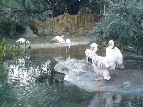 Pélicans et flamants roses | by clotilde