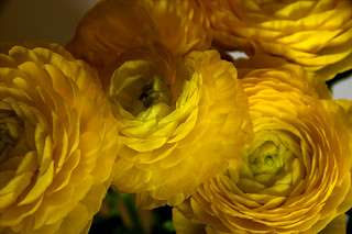 Ranunculus 3 | by TLV and more
