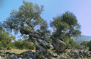 Two Olive Trees | by elkost