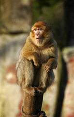 Barbary Macaque | by mape_s