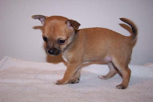 Image Result For Wiener Dog Puppy