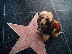 Blondie wants her own star! | by Hollywood Poodle