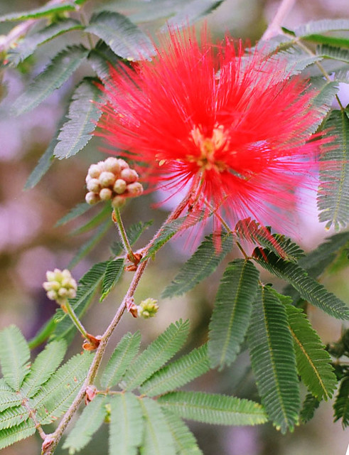 Persian silk tree flower albizia julibrissin f rosea flickr persian silk tree flower by w0ld mightylinksfo