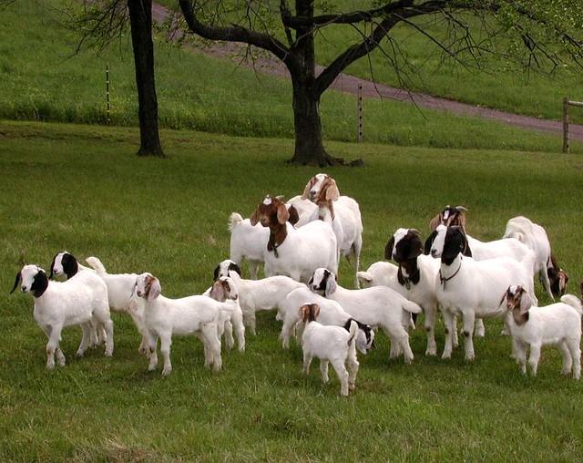 goat herd boer x nubian herd of meat goats in western mary flickr