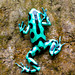 Green Poison Arrow Frog [Dendrobates Auratus]