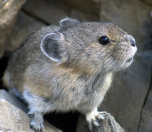 Pika | by Chris & Lara Pawluk