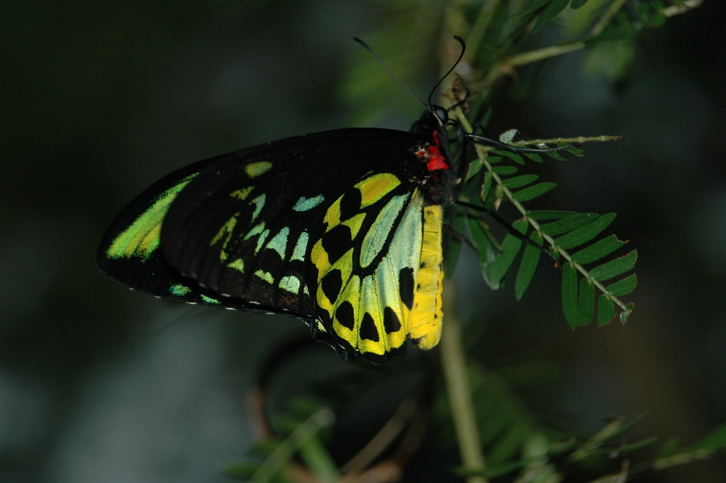 butterfly from the ontario butterfly conservatory. Black Bedroom Furniture Sets. Home Design Ideas