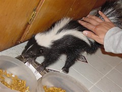 Roomie Petting Baby Skunk | by artindeepkoma