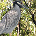 Yellow-Crowned Night Heron #2