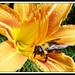 Bumblebee Lily