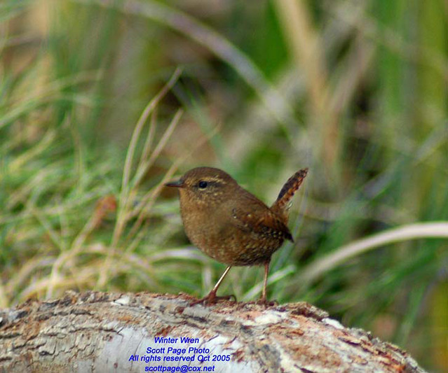 Winter wren corn creek desert nat 39 l wildlife refuge rar flickr - Jarige dochters kamer ...