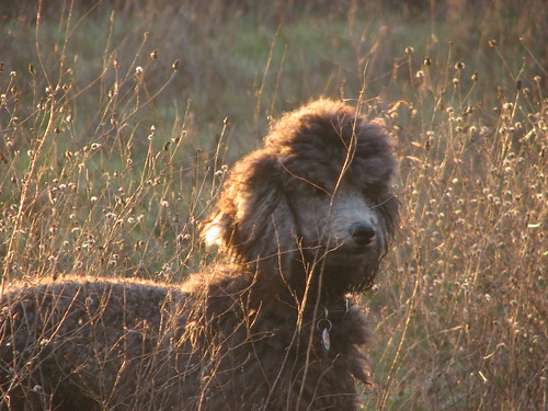 Tonight On National Geographic: Poodles of the Serengeti | by The Pack