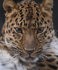 Amur leopard Colchester Zoo | by Shaneshots