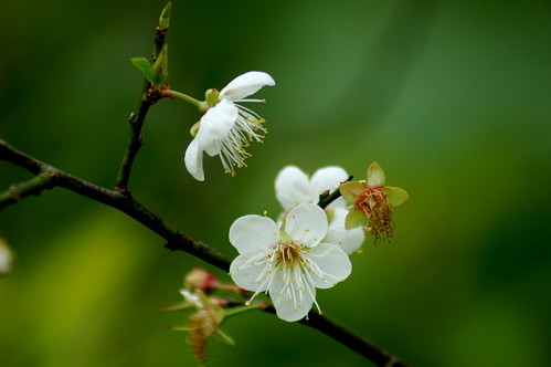 plum blossom | by shenxy