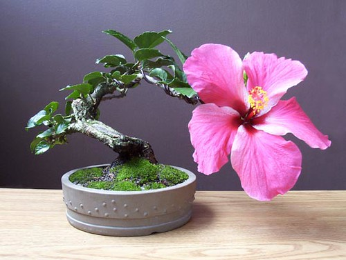 hibiscus bonsai a fun tree to work on gilbert cantu flickr. Black Bedroom Furniture Sets. Home Design Ideas