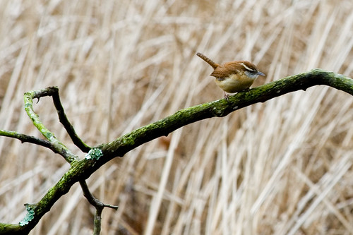 Wren On Branch | by ramislevy