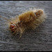 Hairy worm