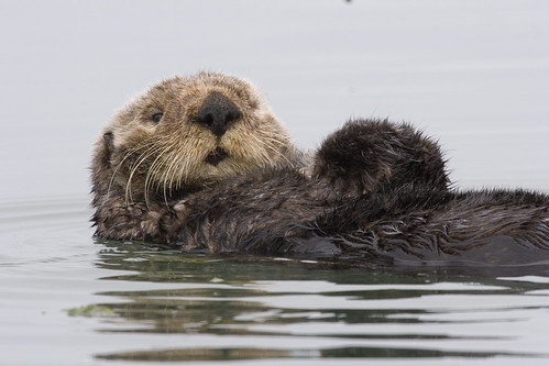 Sea Otter preening itself in Morro Bay, CA  sea-otter-morro-bay_13 | by mikebaird