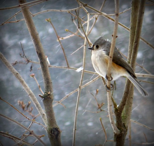 Winter - Tufted Titmouse waiting out a snow storm | by blmiers2
