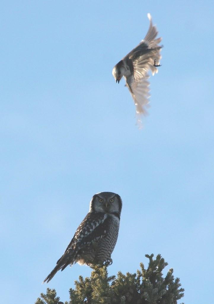 Hawk vs owl - photo#10