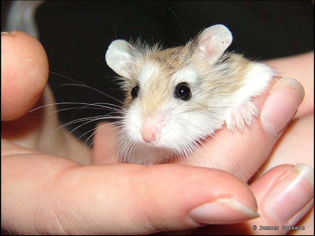 Hamsters With Big Ears Sien Has Big Ears | by