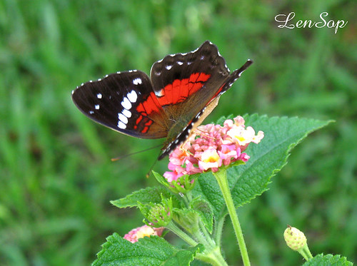 A butterfly on lantana. | by LenSOP