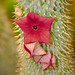 Hoodia gordonii flower & buds