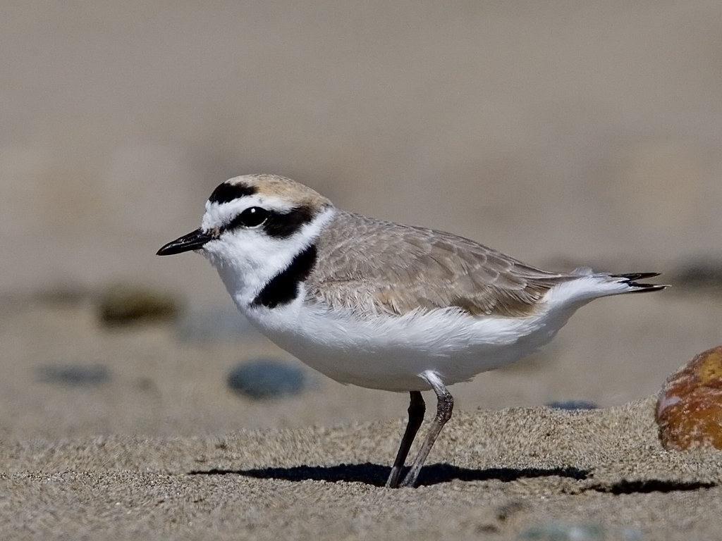 Image result for coastal Western snowy plover